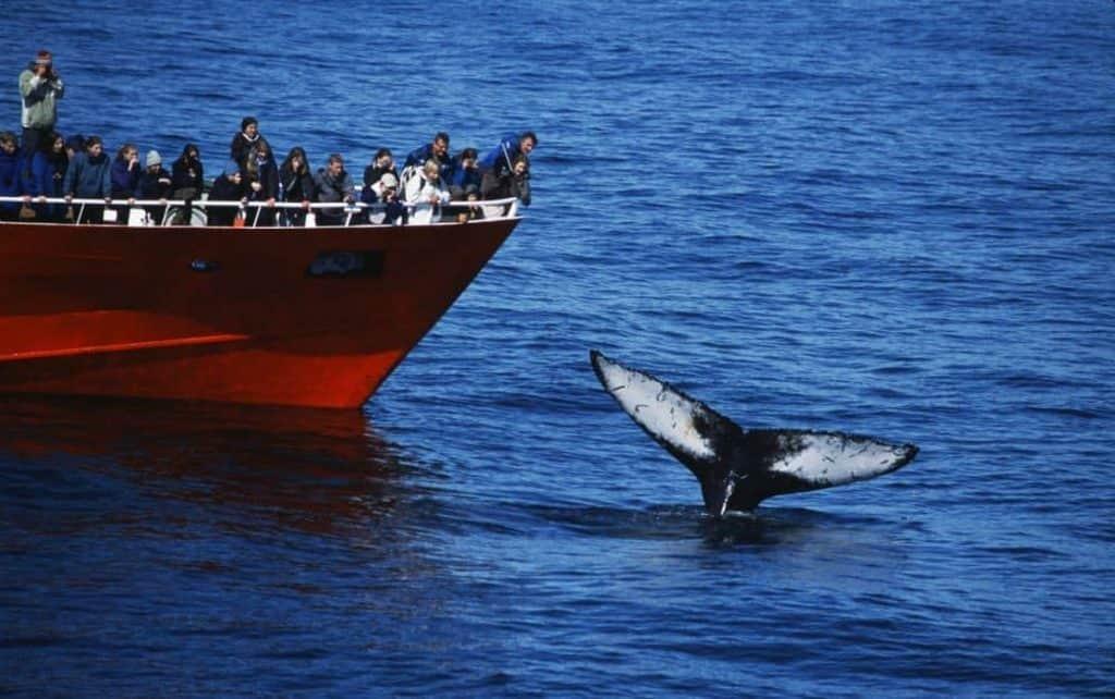 Whale sight seeing, Reykjavik, Iceland